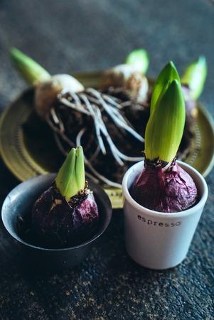 spring hyacint bulbs 스톡 콘텐츠