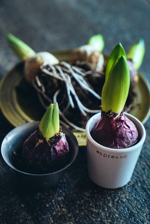 spring hyacint bulbs Stock Photo