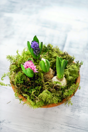 young multicolored hyacinth Banco de Imagens