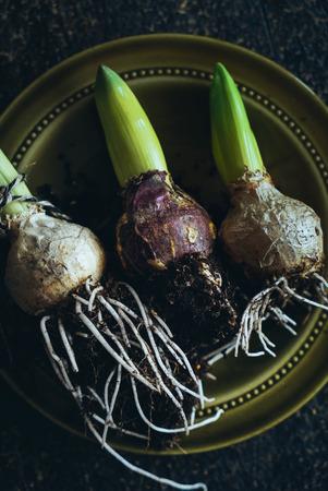 spring hyacint bulbs 版權商用圖片