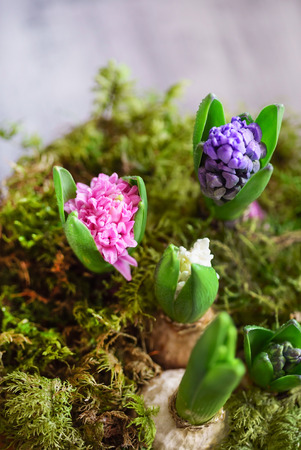 young multicolored hyacinth Stockfoto