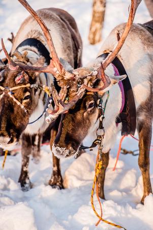 Northern house deer Standard-Bild - 95562860