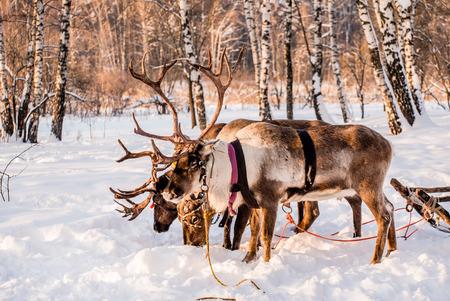 Northern house deer Standard-Bild - 95562929
