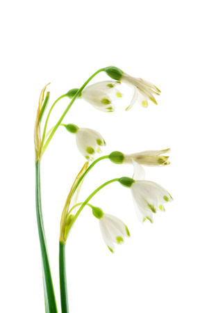 snowdrop flowers on the white