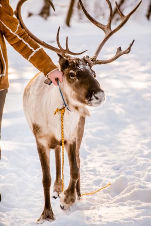 northen deer