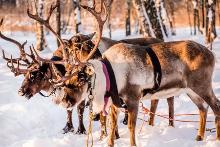 Northern house deer Standard-Bild - 95563389