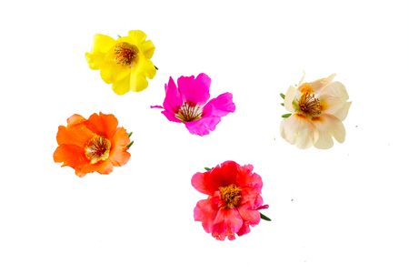 purslane flower isolated Banco de Imagens