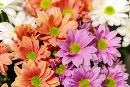 Fleurs de chrysanthème closeup Banque d'images - 96398391