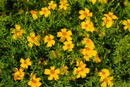 marigold flowers closeup 스톡 콘텐츠