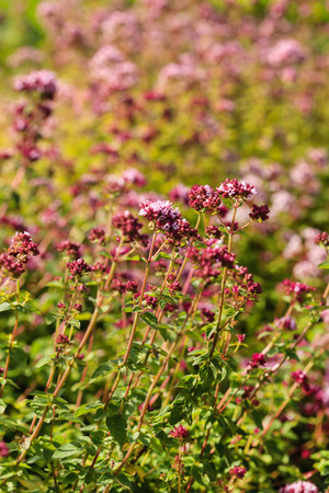 oregano plants closeup