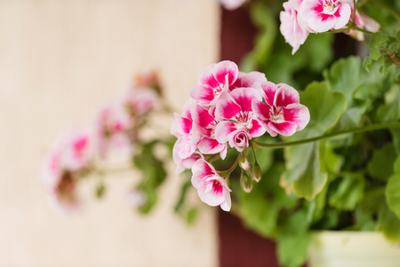 geranium flowers in pot