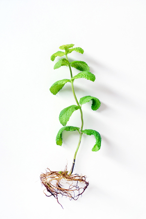mint plant on the white background
