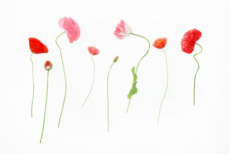 poppy flowers on white background