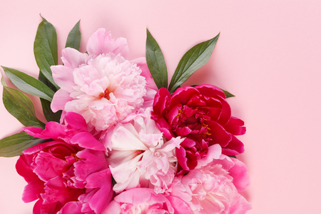 nice peonies on pink background Banque d'images