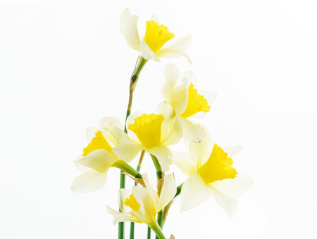 fresh narcissus flowers  版權商用圖片