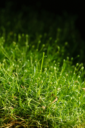 fresh moss closeup