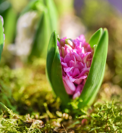 young multicolored hyacinth Stock fotó