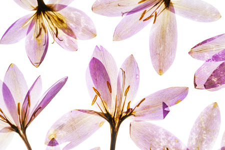 dry crocus flowers 스톡 콘텐츠