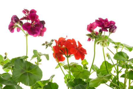 pelargonium in the pot Imagens