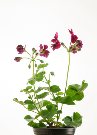 pelargonium in the pot 版權商用圖片