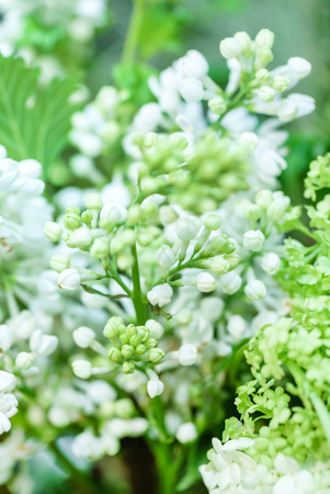 white blooming lilac