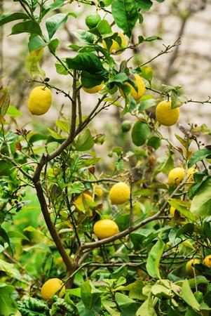 lemon tree with lemons Banque d'images