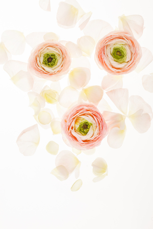 ranunculus flowers on white