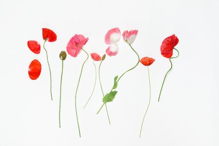 poppy flowers on white
