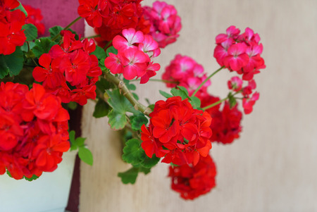 red pelargonium flowers