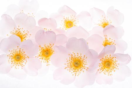 wild roses on white