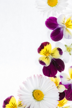 pansies flowers on white