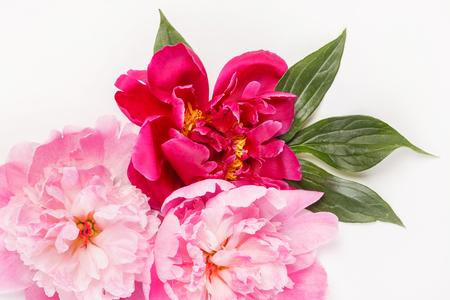 peony flowers on white 스톡 콘텐츠