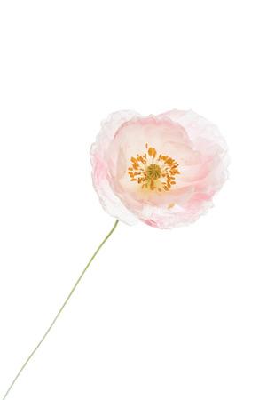 poppy flower isolated Stock Photo