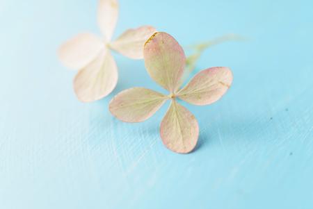 hydrangea flowers on the blue background Zdjęcie Seryjne