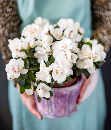 azalea flower in the pot Banque d'images