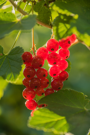 red currant in the garden