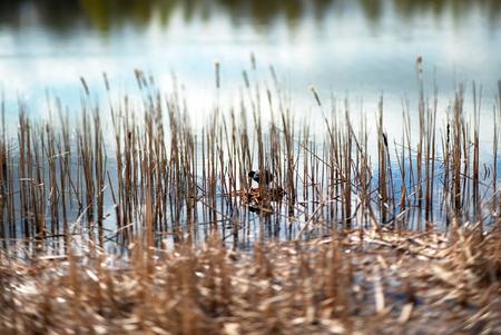 water bird making nest Reklamní fotografie