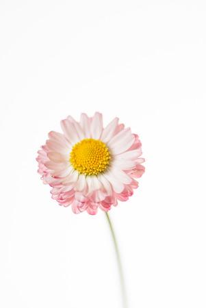 daisy flower isolated Stok Fotoğraf