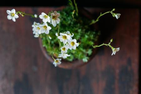 saxifrage flower in pot