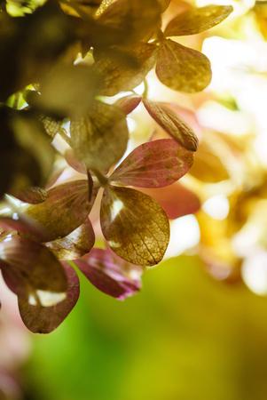 hydrangea flowers closeup