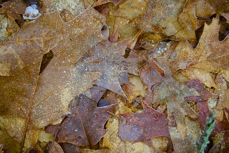 frozen autumn leaves Banco de Imagens - 101814142