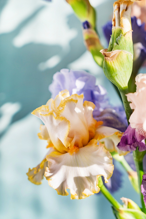 Bunch of coloful fresh irises Фото со стока