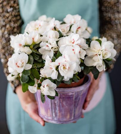 kwiat azalii w doniczce