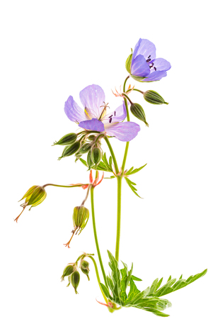 meadow geranium isolated