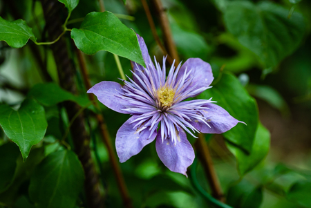 flowering purple Clematis.