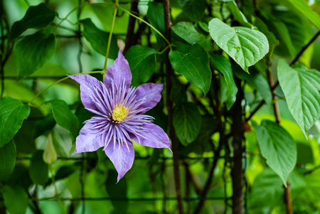 flowering purple Clematis. 스톡 콘텐츠 - 107188618