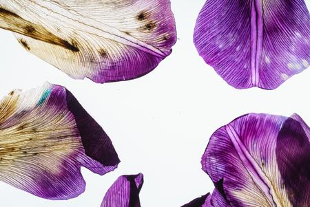 iris petals closeup Archivio Fotografico - 107188620