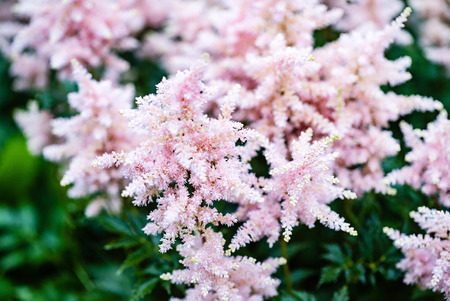 astilba flowers closeup Stock Photo