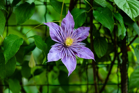flowering purple Clematis. 版權商用圖片 - 109274190