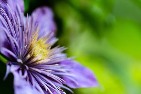 flowering purple Clematis.